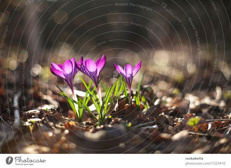 Nature Plant Green Flower Spring Violet Spring fever Crocus