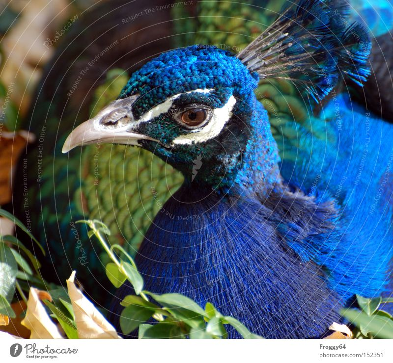 Blue Eyes Bird Feather Wing India Beak Animal Crown Peacock