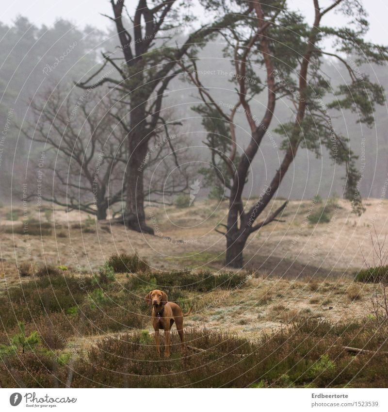 on one's own Landscape Winter Fog Forest Animal Pet Dog Hound 1 Observe Discover Hunting Stand Wait Wild Brown Love of animals Wanderlust Loneliness Adventure