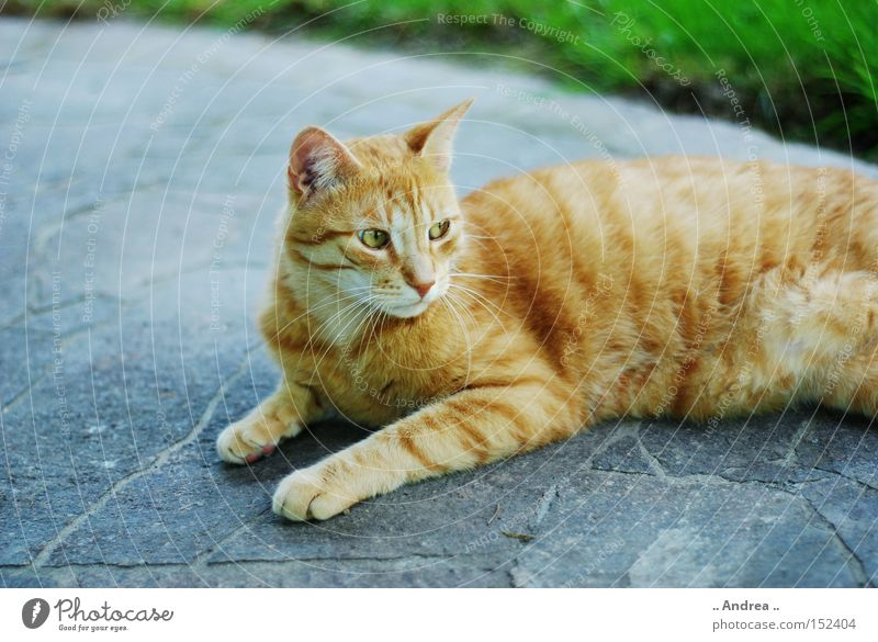 Red Tiger 16 Pelt Cat Friendliness Green Whisker Mammal Domestic cat mietzi whiskers mackerelled red sad Profile
