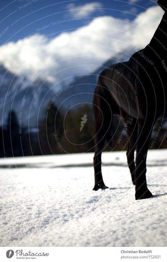 Sky Blue Winter Clouds Animal Snow Mountain Dog Landscape To go for a walk Labrador