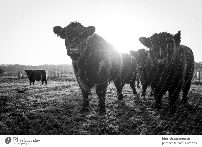 Sun Landscape Animal Environment Autumn Freedom Group of animals Beautiful weather Pasture Farm Cloudless sky Cow Herd Cattle Farm animal