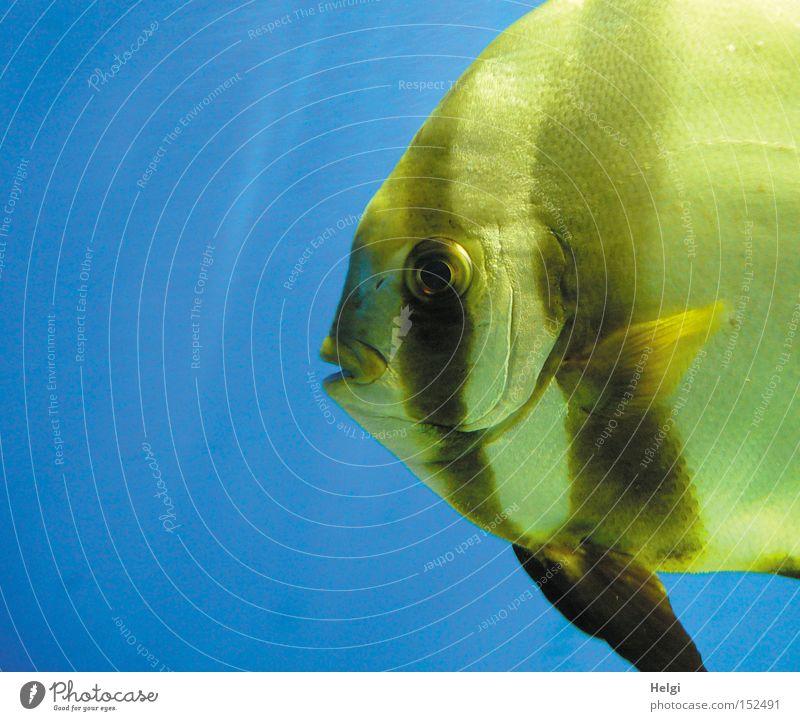 Water Blue Eyes Yellow Wet Swimming & Bathing Fish Lips Boredom Aquarium Muzzle Fin Scales Gill