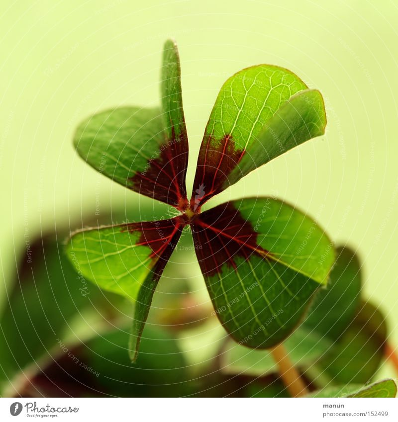 Green Joy Happy Success Clover Public Holiday Birth Congratulations Good luck charm Salutation Flower Four-leafed clover