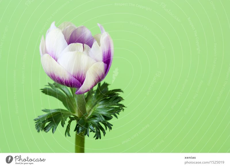 Green White Flower Blossom Spring Garden Violet Spring fever Anemone Poppy anenome