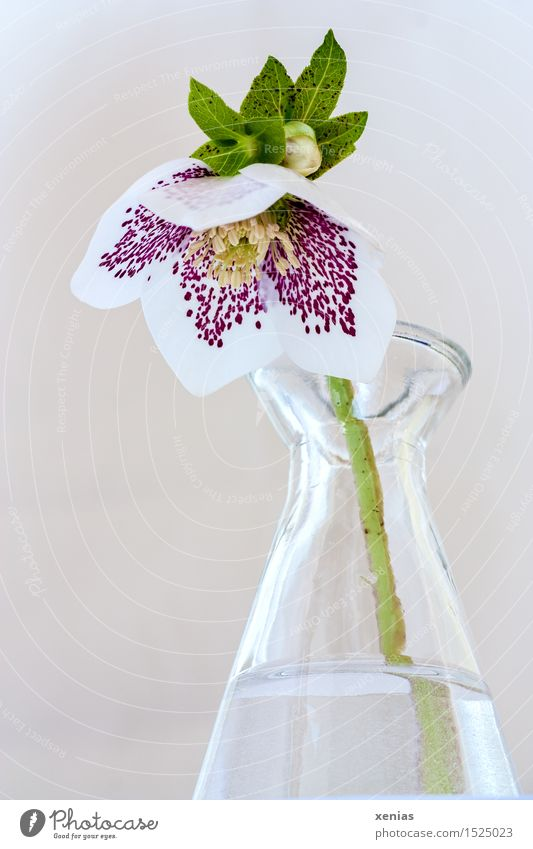 Christmas rose in glass vase Spring Winter Blossom halberry bilges Vase Glass Water Yellow Green Violet White Calm Spotted Colour photo