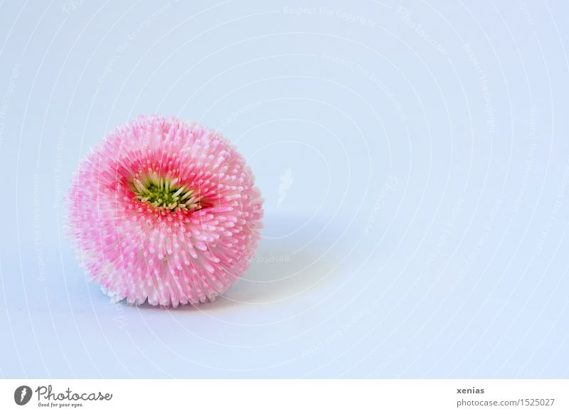picked bellis Spring Blossom Daisy 1 Soft Yellow Pink White Background picture Colour photo Interior shot Close-up Copy Space right