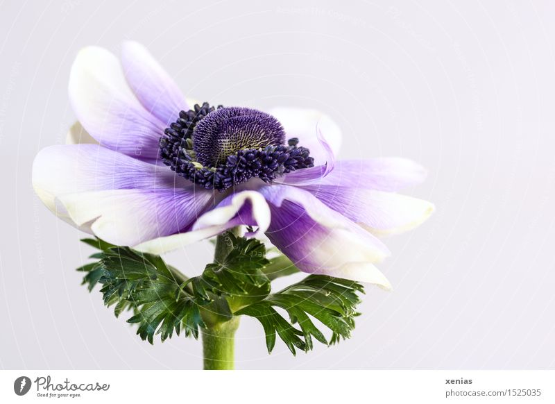 Crowned anemone with violet against a light background Anemone Spring Flower Blossom Poppy anenome Round Green Violet White bright background Neutral Background