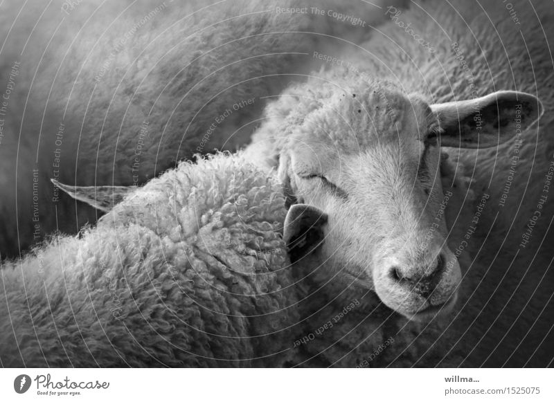 Sheep - wool hit Farm animal 2 Animal Group of animals Together Cuddling Touch Intimacy Attachment Related Black & white photo Exterior shot Animal portrait