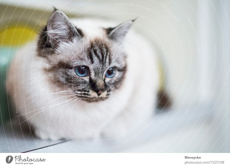Blue eyes Animal Pet Cat 1 Contentment holy Burma cattery Colour photo Interior shot Deserted Copy Space right Day Deep depth of field Animal portrait