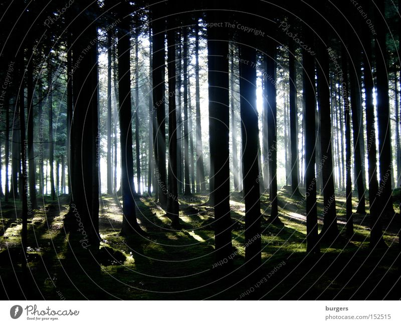 Tree Sun Forest Dark Bright Lighting Switzerland Mysterious Tree trunk Moss Column Beam of light Leaf canopy