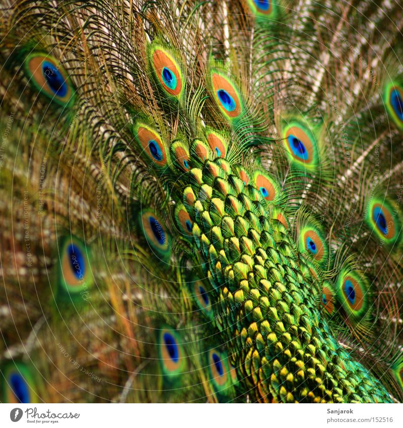 Green Beautiful Bird Masculine Feather Pride Peacock Dazzling Peacock feather Airs and graces