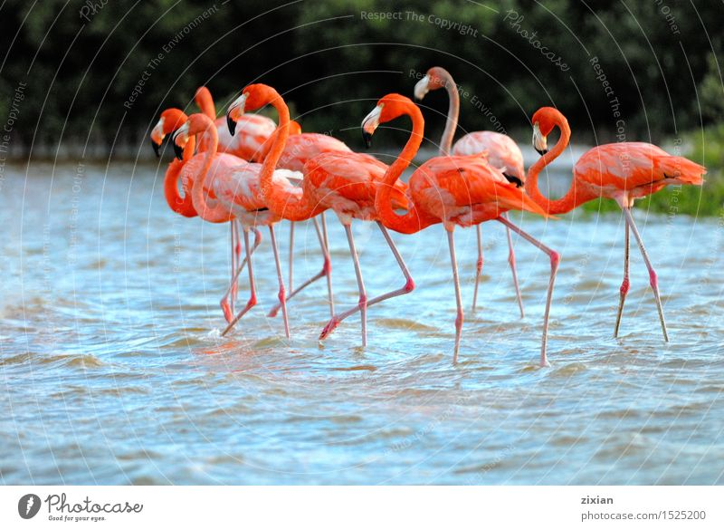 Greater Flamingos,phoenicopterus roseus, standing in the river Beautiful Water Animal Movement Bird Together Wild Hiking Wild animal Walking Wait Group of animals Cute Flamingo