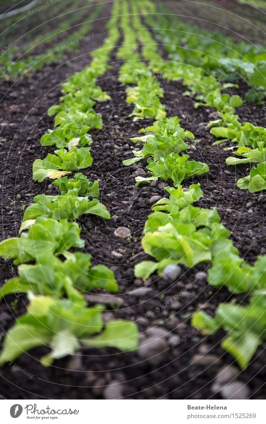Here's the salad. Food Lettuce Salad Nutrition Vegetarian diet Garden Agriculture Forestry Nature Summer Plant Agricultural crop Fitness To enjoy Growth Fresh