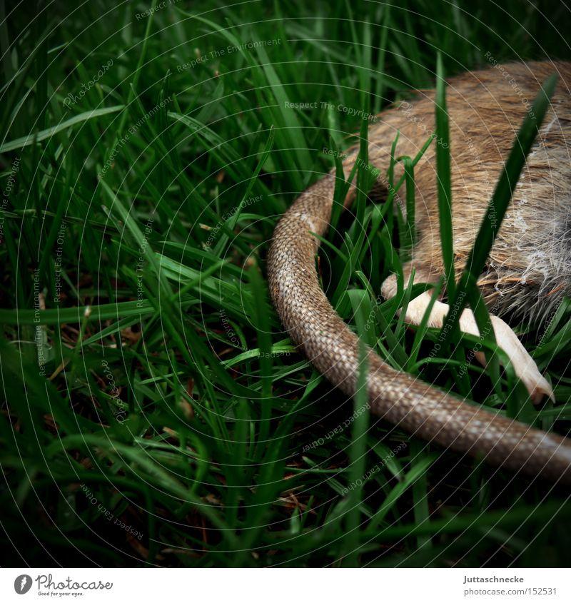 Meadow Death Grass Grief Transience Distress Mammal Tails Kill Rodent Prey Rat Cat food