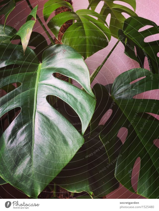 monster-like! Lifestyle Living or residing Flat (apartment) Room Plant Tree Leaf Foliage plant Monstera Growth Glittering Retro Green Pink Elegant