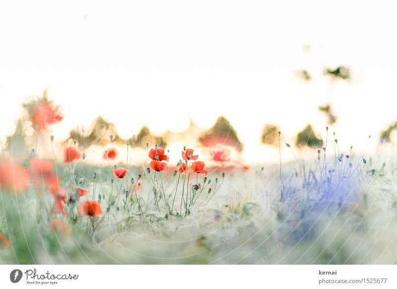 Spreedorado poppy seed by grain. Environment Nature Landscape Plant Sun Sunrise Sunset Sunlight Summer Beautiful weather Grass Blossom Wild plant Poppy