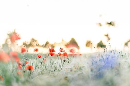 Spreedorado poppy seed by grain. Environment Nature Landscape Plant Sun Sunrise Sunset Sunlight Summer Beautiful weather Grass Blossom Wild plant Poppy