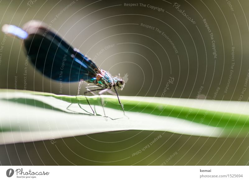 Spreedorado dragonfly. Nature Plant Animal Sunlight Summer Beautiful weather Leaf Wild animal Wing Dragonfly Dragonfly wings 1 Relaxation Sit Esthetic Thin