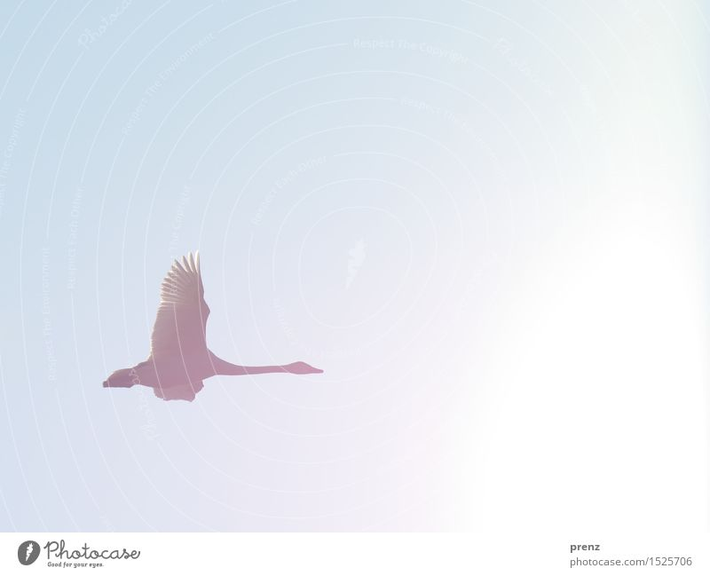Whooper Swan Environment Nature Animal Sky Cloudless sky Sun Winter Beautiful weather Wild animal Wing 1 Blue Flying Floating Colour photo Exterior shot