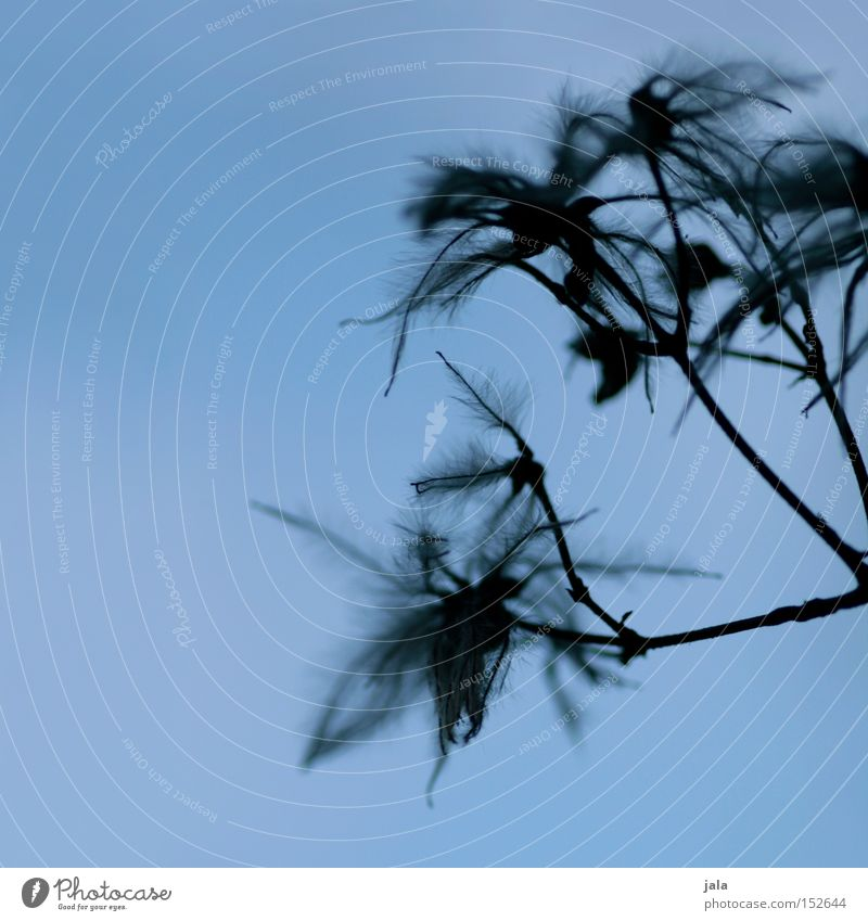 Blue Plant Winter Gray Park Vine Feather Delicate Easy Seed Faded Tuft Seed head