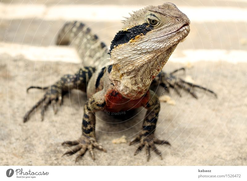 """Lizzard Vacation & Travel Trip Adventure Nature Animal Wild animal Scales Claw """"Lizzard Waterdragon"""" 1 Exotic Curiosity Yellow Gray Black Love of animals"""