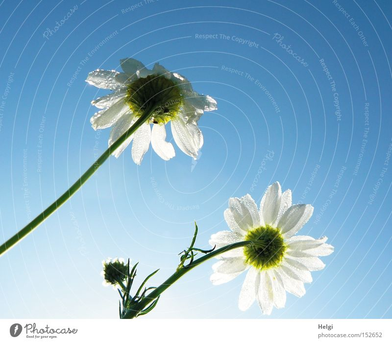 Nature Sky White Flower Blue Summer Blossom Drops of water Transience Stalk Dew Bud Chamomile Medicinal plant