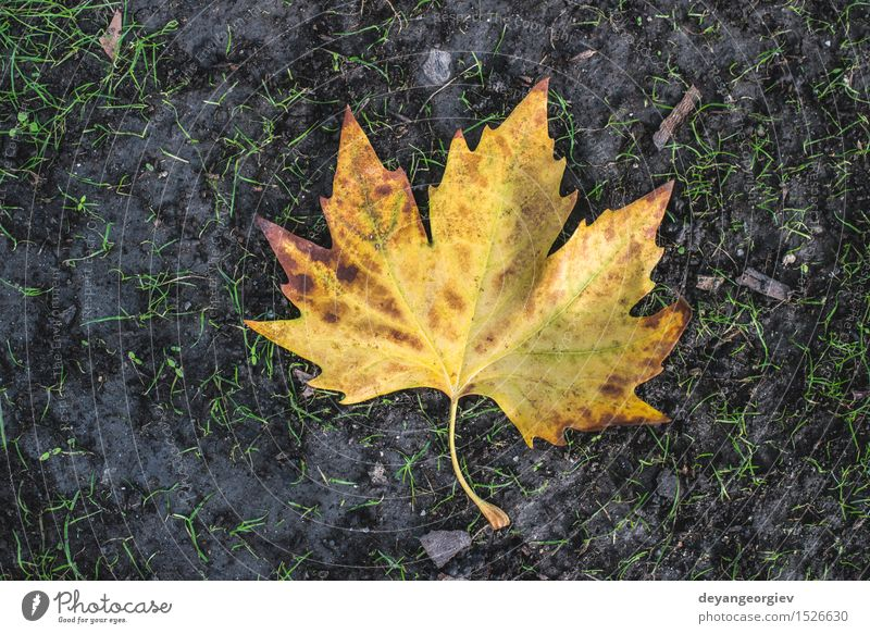 Autumn leaf on sidewalk Nature Leaf Town Street Stone Old Yellow fall Seasons background Tile Sidewalk Cobblestones pavement Story urban Ground Footpath