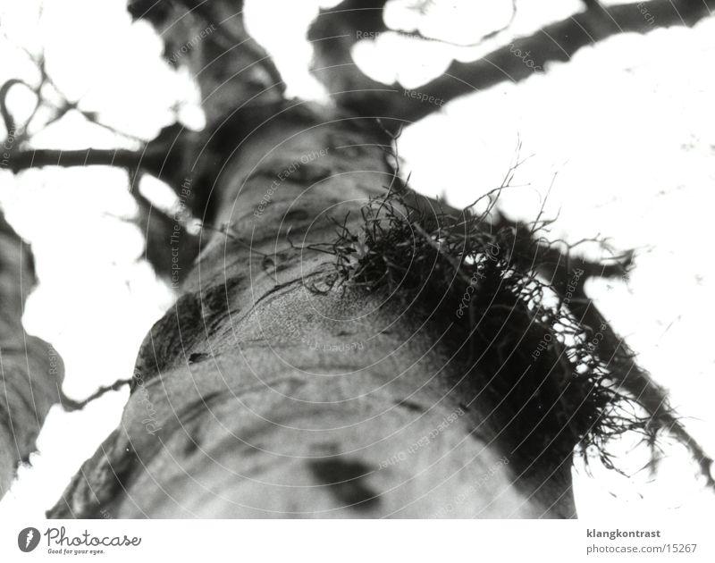 Mistletoe 2 (sw) Shallow depth of field mistletoe branch old tree Black & white photo