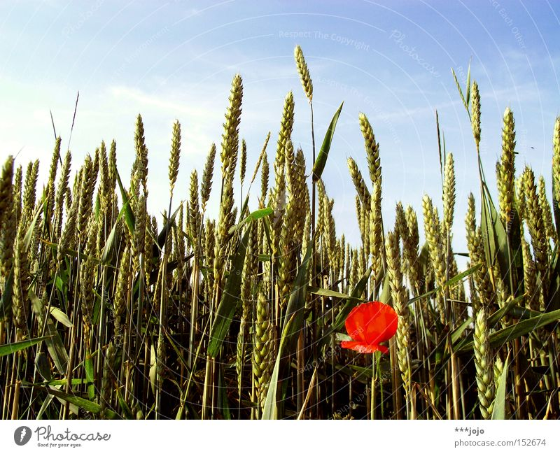 seasonal shift. Field Grain Wheat Poppy Summer Flower Agriculture Harvest Nature Contrast Ear of corn Blossom Red Individual