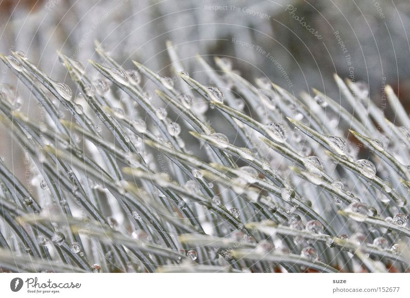 Beautiful Winter Bright Glittering Authentic Wet Point Drops of water Uniqueness Frozen Twig Fir tree Silver Dew Noble Christmas decoration