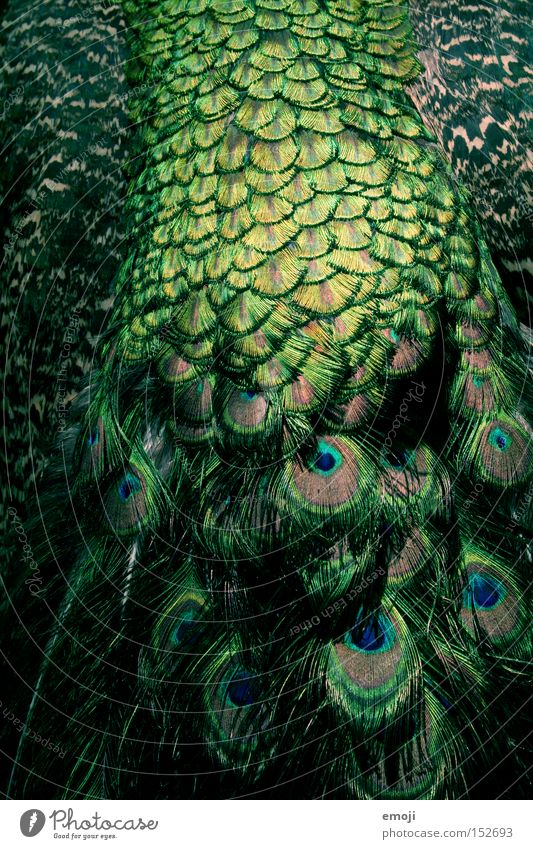 another peacock Peacock Pattern Animal Green Pheasant family Bird Feather Structures and shapes Hair and hairstyles fur :P Blue Peacock Pavo cristatus pheasant