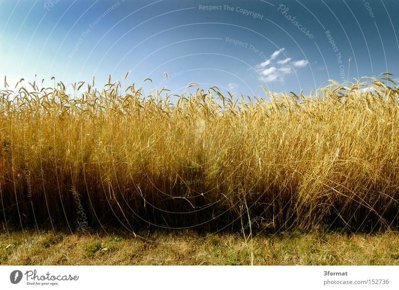 bread Summer Field Real estate Harvest Wheat Sky Blue Yellow Gold Positive Optimism Optimist Life Nutrition Agriculture Quality