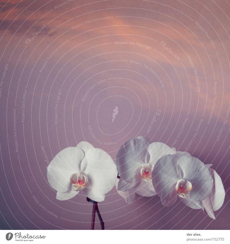 Beautiful Sky White Colour Pure Orchid Soul Spiritual kinship