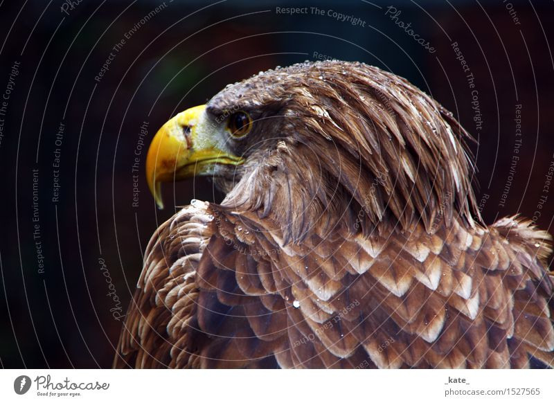 Eagle in the rain Animal Wild animal Bird 1 Elegant Strong Brown Yellow Freedom Perspective Power Drops of water Colour photo Exterior shot Close-up Day