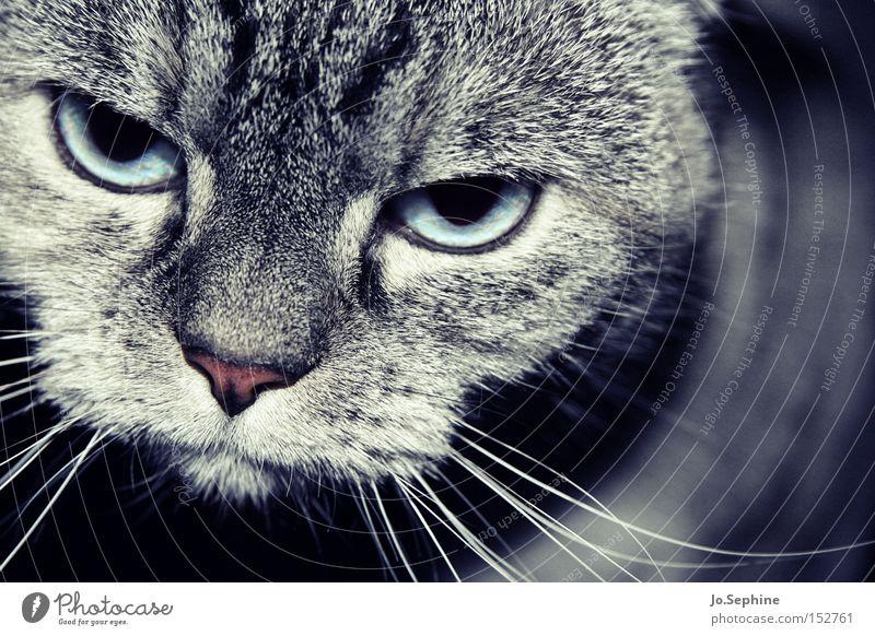 Eene - Meene - Kitty... Animal Pet Cat Domestic cat Animal face Animal portrait Watchfulness Observe Threat Hypnotic Eyes Nose Whisker Smooth Pelt Gray Mammal