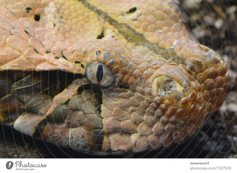 Gabon Viper Animal Wild animal Snake Zoo 1 Lie Threat Brown Black Poison Poison fang Eyes Pupil Scales Colour photo Subdued colour Interior shot Close-up Detail