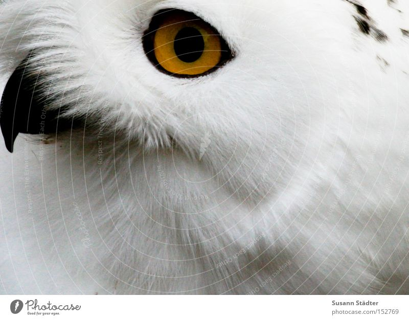 Snowy owl face I Owl birds Zoo Eyes Bird of prey Feather Patch White Pelt Beak Black Yellow Winter Cold
