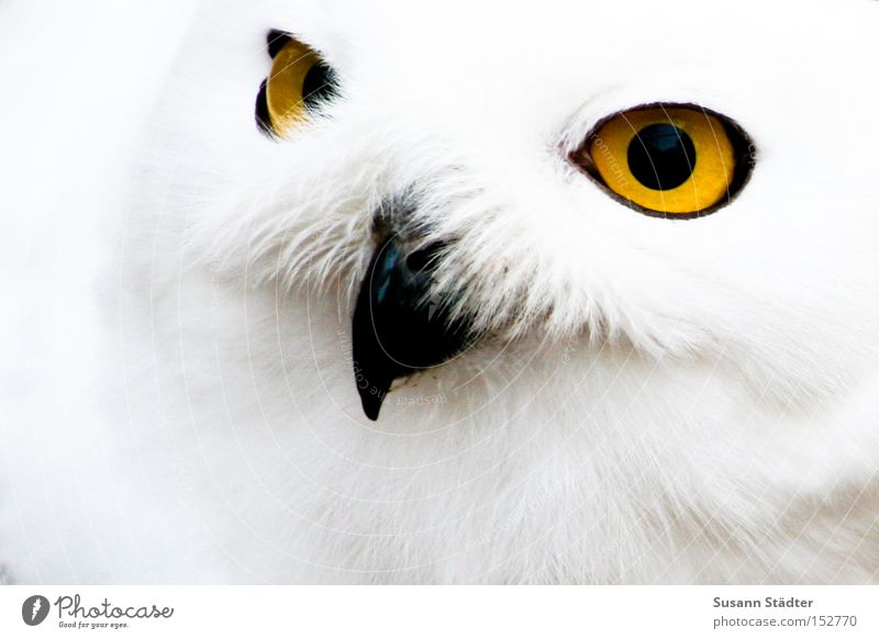 Snowy owl face II Owl birds Zoo Eyes Bird of prey Feather Patch White Pelt Beak Black Yellow Winter Cold