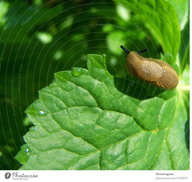 hmmm... delicious Snail Appetite Leaf Green Spring Slug Slimy Feeler Brown Drops of water Wood grain Hollow