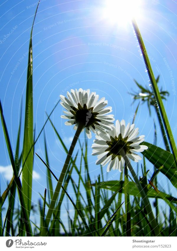 flowerpower Daisy Flower 2 Sun Meadow Green Blossoming Grass White Sky Upward Growth Lighting In pairs