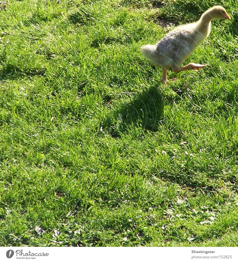 On the geese - Ready - Loose Goose Sporting event Let's get outta here Waddle Walking Meadow Green Bird from the picture