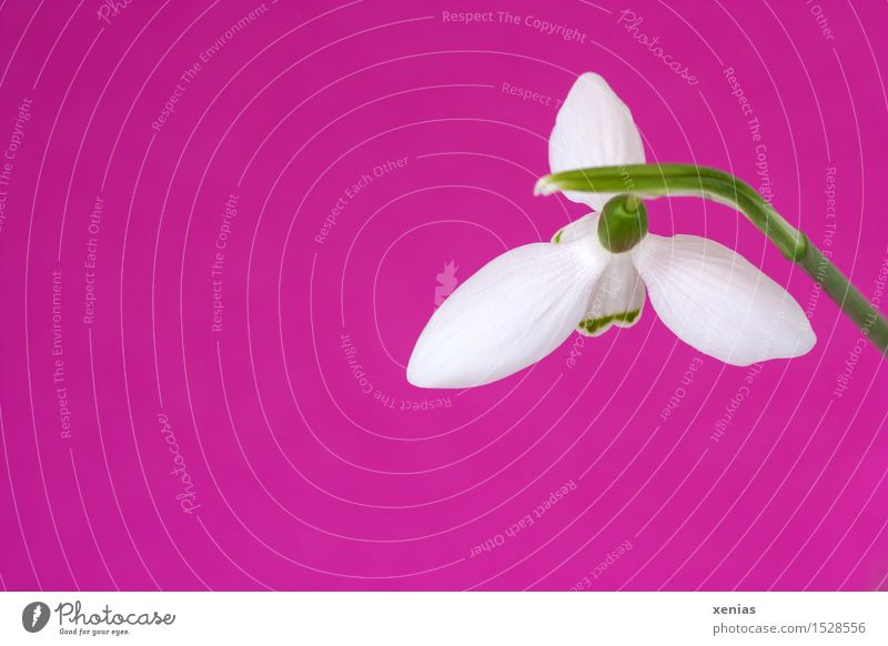 Snowdrops over Pink pink Easter Spring Winter Flower Blossom galanthus Amaryllis Green White Card Background picture Interior shot Downward Decoration