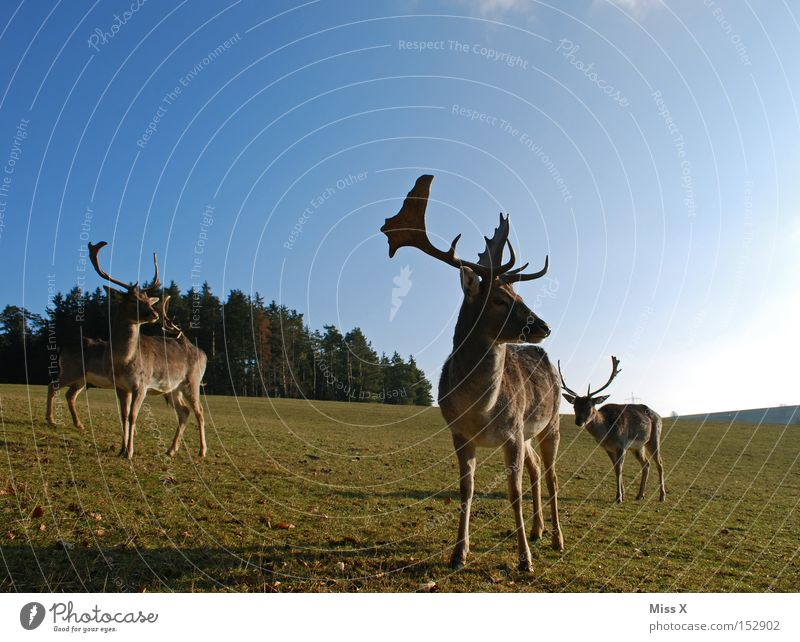 round the corner Colour photo Exterior shot Winter Animal Meadow Forest Wild animal Green Deer Roe deer Reindeer Antlers Mammal rudi