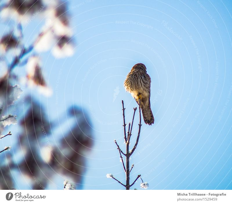 Outlook bird of prey Winter Snow Environment Nature Animal Sky Cloudless sky Sunlight Weather Beautiful weather Plant Tree Wild animal Bird Wing 1 Observe