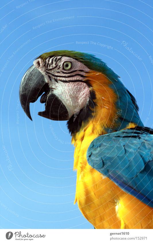 Blue Joy Black Eyes Yellow To talk Bird Flying Aviation Feather Beak Smart South America Parrots