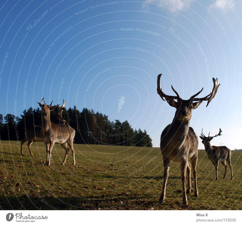 Green Winter Animal Forest Meadow Wild animal Mammal Antlers Deer Roe deer Reindeer