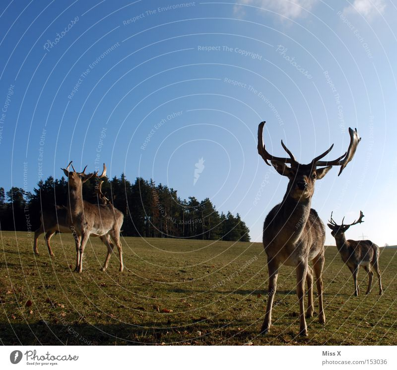 Rudi wishes oah gsunds neis Colour photo Exterior shot Winter Animal Meadow Forest Wild animal Green Deer Roe deer Reindeer Antlers Mammal rudi
