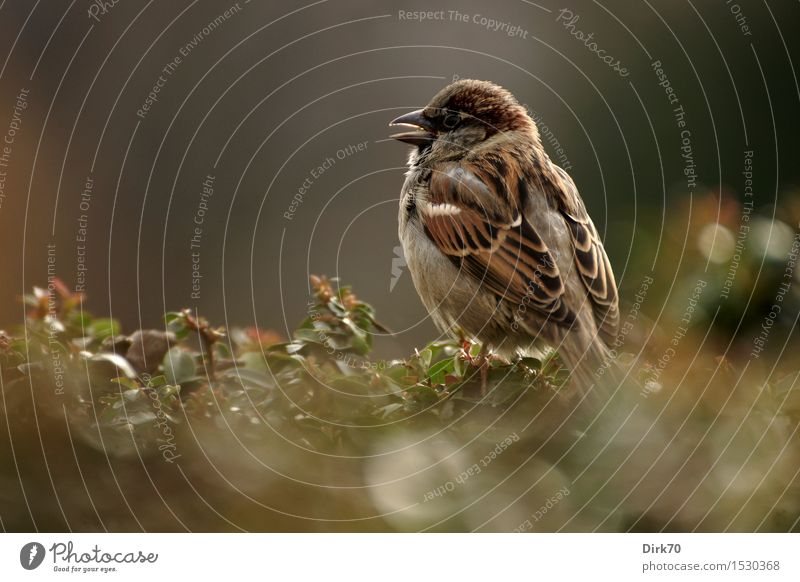 Paris sparrow! Animal Beautiful weather Plant Bushes Hedge Garden Park Wild animal Bird Sparrow Songbirds 1 Crouch Brash Free Small Curiosity Cute Smart Town