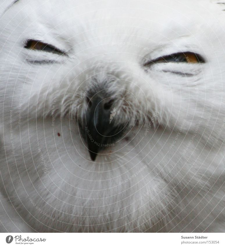 Snowy owl face III Owl birds Zoo Eyes Bird of prey Feather Patch White Pelt Beak Black Yellow Winter Cold